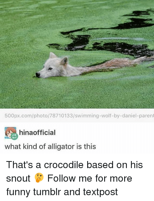 Funny, Memes, and Tumblr: 500px.com/photo/78710133/swimming-wolf-by-daniel-parent  hinaofficial  what kind of alligator is this That's a crocodile based on his snout 🤔 Follow me for more funny tumblr and textpost