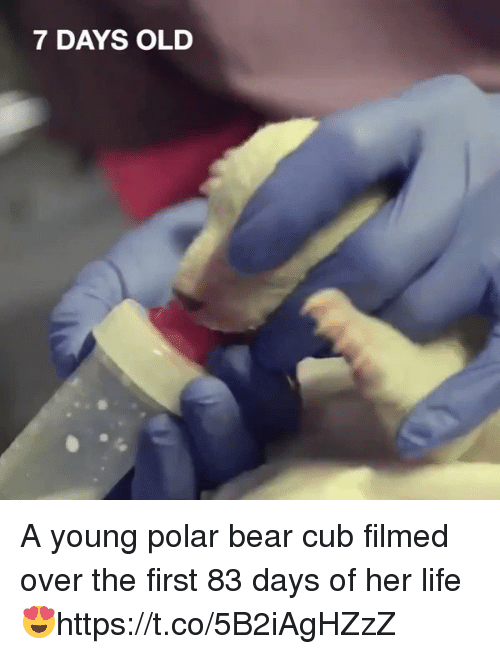Life, Bear, and Girl Memes: 7 DAYS OLD A young polar bear cub filmed over the first 83 days of her life 😍https://t.co/5B2iAgHZzZ