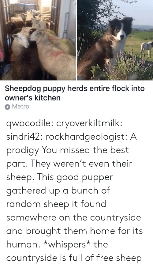 pupper: 7  Sheepdog puppy herds entire flock into  owner's kitchen  Metro qwocodile:  cryoverkiltmilk:  sindri42:  rockhardgeologist: A prodigy You missed the best part. They weren't even their sheep. This good pupper gathered up a bunch of random sheep it found somewhere on the countryside and brought them home for its human.  *whispers* the countryside is full of free sheep