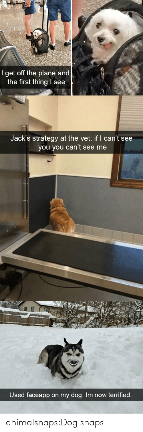 strategy: 84  I get off the plane and  the first thing l see   Jack's strategy at the vet: if I can't see  you you can't see me   Used faceapp on my dog. Im now terrified.. animalsnaps:Dog snaps