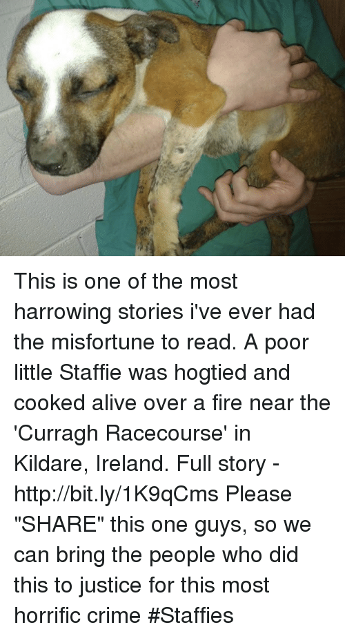 "Misfortunately: 9, This is one of the most harrowing stories i've ever had the misfortune to read.  A poor little Staffie was hogtied and cooked alive over a fire near the 'Curragh Racecourse' in Kildare, Ireland. Full story - http://bit.ly/1K9qCms  Please ""SHARE"" this one guys, so we can bring the people who did this to justice for this most horrific crime #Staffies"