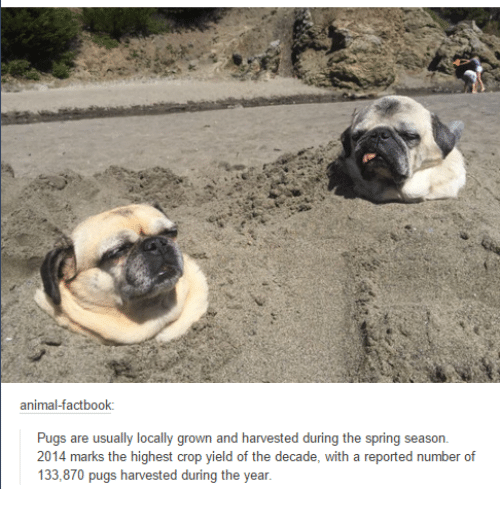 Funny: animalfactbook:  Pugs are usually locally grown and harvested during the spring season  2014 marks the highest crop yield of the decade, with a reported number of  133,870 pugs harvested during the year
