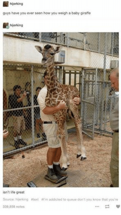 baby giraffe: hijerking  guys have you ever seen how you weigh a baby giraffe  hijerking  isn't life great  Source: hijerking #text m addicted to queue don't you know that you're  339,858 notes