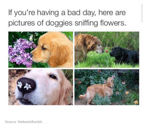 Bad, Bad Day, and Flower: If you're having a bad day, here are  pictures of doggies sniffing flowers.  Source: thebestoftumbli.