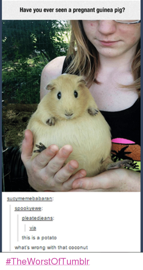 Funny, Meme, and Memes: Have you ever seen a pregnant guinea pig?  meme babaran  Su  SOOO  ewe  pleatedjeans:  VIR  this is a potato  what's wrong with that coconut ‪#‎TheWorstOfTumblr‬