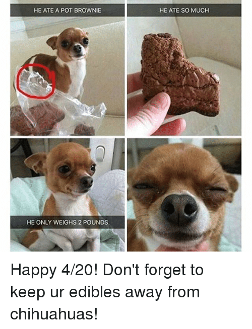 4:20, Chihuahua, and Happy: HE ATE A POT BROWNIE  HE ONLY WEIGHS 2 POUNDS  HE ATE SO MUCH Happy 4-20! Don't forget to keep ur edibles away from chihuahuas!