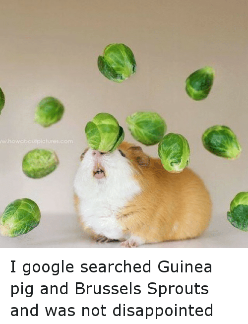 brussels sprout: www.howaboutpictures com I google searched Guinea pig  and Brussels Sprouts and was not disappointed