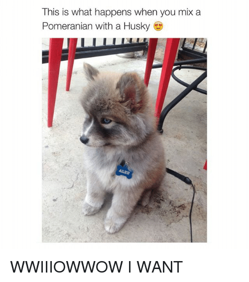 Girl Memes: This is what happens when you mix a  Pomeranian with a Husky WWIIIOWWOW I WANT
