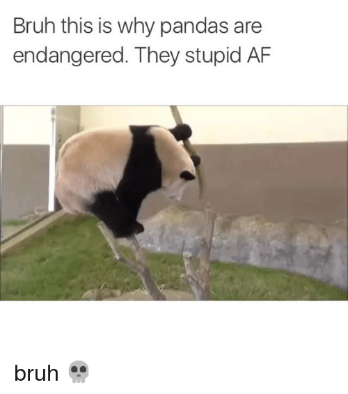 Af, Bruh, and Funny: Bruh this is why pandas are  endangered. They stupid AF bruh 💀