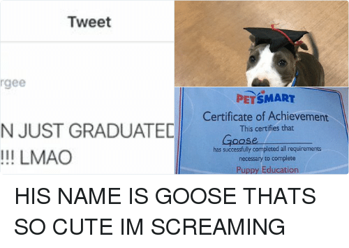 Funny: Tweet  Serg  @surrgee  YO MY SON JUST GRADUATED FROM  SCHOOL!!!!! LMAO   PETSMART  Certificate of Achievement  This certifies that  QQSee  has successfully completed all requirements  necessary to complete  Puppy Education  Sponsored By the PetSmart Pet Training Program  20, 20/6  structor  Date HIS NAME IS GOOSE THATS SO CUTE IM SCREAMING