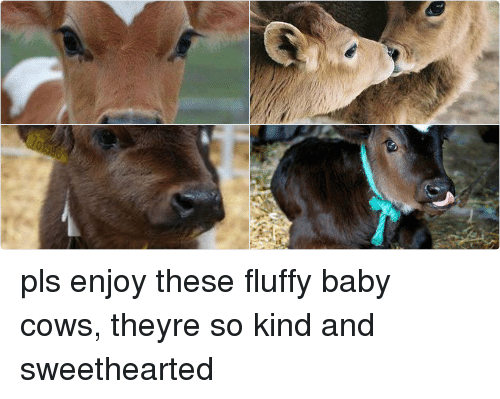Girl Memes: Me pls enjoy these fluffy baby cows, theyre so kind and sweethearted