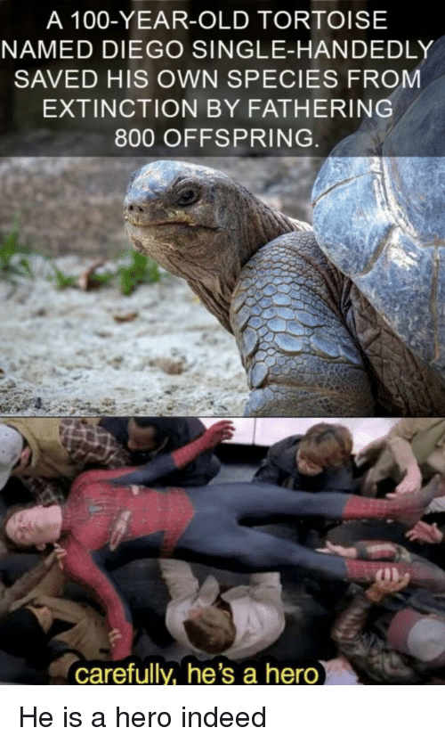 offspring: A 100-YEAR-OLD TORTOISE  NAMED DIEGO SINGLE-HANDEDLY  SAVED HIS OWN SPECIES FROM  EXTINCTION BY FATHERING  800 OFFSPRING  carefully, he's a hero He is a hero indeed