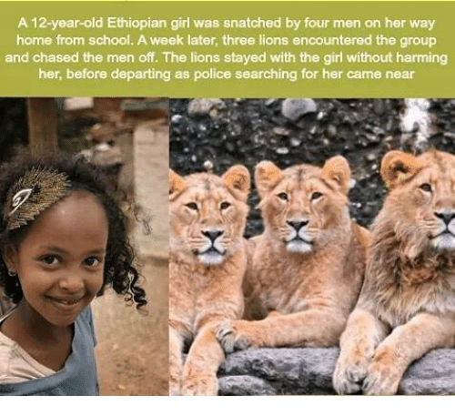 Ethiopians: A 12-year-old Ethiopian girl was snatched by four men on her way  home from school. A week later, three lions encountered the group  and chased the men off. The lions stayed with the girl without harming  her, before departing as police searching for her came near