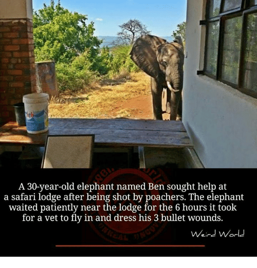 Waiting Patiently: A 30-year-old elephant named Ben sought help at  a safari lodge after being shot by poachers. The elephant  waited patiently near the lodge for the 6 hours it took  for a vet to fly in and dress his 3 bullet wounds.  Weird World