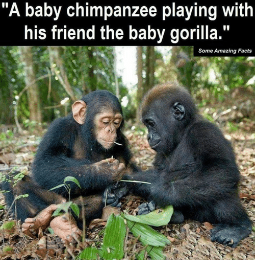 """Facts, Memes, and Amazing: """"A baby chimpanzee playing with  his friend the baby gorilla.""""  Some Amazing Facts"""