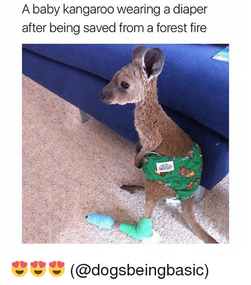 Fire, Memes, and Baby: A baby kangaroo wearing a diaper  after being saved from a forest fire 😍😍😍 (@dogsbeingbasic)