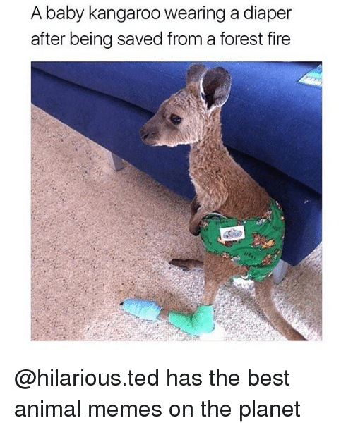 Forest Fire: A baby kangaroo wearing a diaper  after being saved from a forest fire @hilarious.ted has the best animal memes on the planet