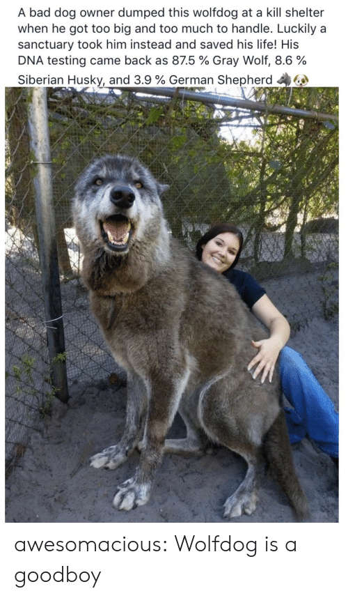 German Shepherd: A bad dog owner dumped this wolfdog at a kill shelter  when he got too big and too much to handle. Luckily a  sanctuary took him instead and saved his life! His  DNA testing came back as 875 % Gray Wolf, 8.6 %  Siberian Husky, and 3.9 % German Shepherd 44 awesomacious:  Wolfdog is a goodboy
