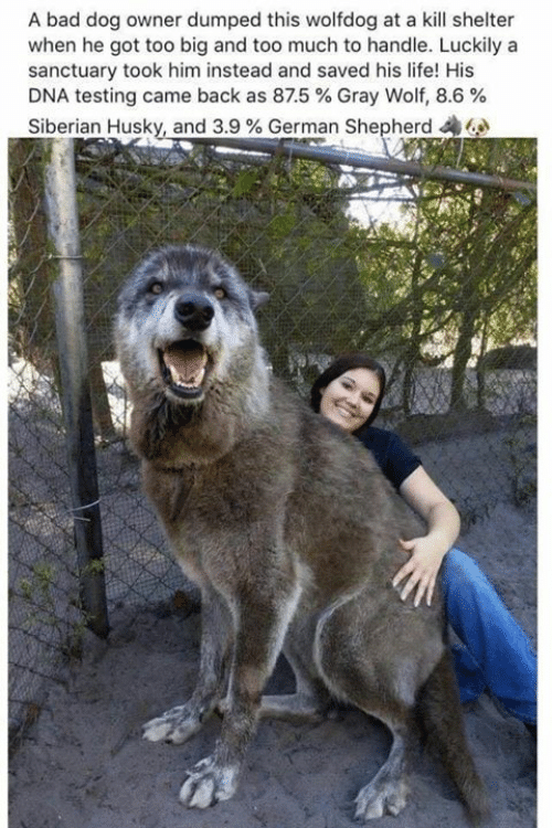 German Shepherd: A bad dog owner dumped this wolfdog at a kill shelter  when he got too big and too much to handle. Luckily a  sanctuary took him instead and saved his life! His  DNA testing came back as 875 % Gray Wolf, 8.6 %  Siberian Husky, and 3.9 % German Shepherd 44