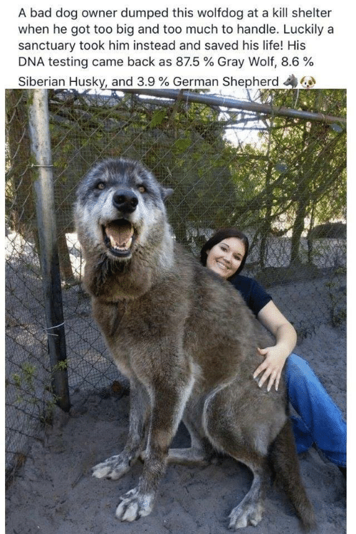 Husky: A bad dog owner dumped this wolfdog at a kill shelter  when he got too big and too much to handle. Luckily a  sanctuary took him instead and saved his life! His  DNA testing came back as 87.5 % Gray Wolf, 8.6 %  Siberian Husky, and 3.9 % German Shepherd