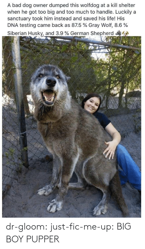 Dumped: A bad dog owner dumped this wolfdog at a kill shelter  when he got too big and too much to handle. Luckily a  sanctuary took him instead and saved his life! His  DNA testing came back as 87.5 % Gray Wolf, 8.6 %  Siberian Husky, and 3.9 % German Shepherd dr-gloom:  just-fic-me-up: BIG BOY PUPPER