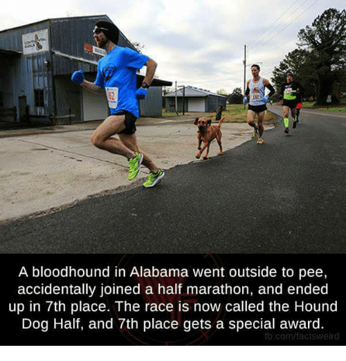 Memes, The Hound, and Alabama: A bloodhound in Alabama went outside to pee,  accidentally joined a half marathon, and ended  up in 7th place. The race is now called the Hound  Dog Half, and 7th place gets a special award.  fb.com/facts weird