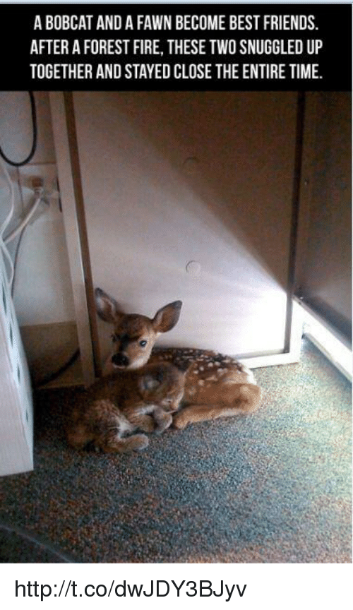 bobcats: A BOBCAT AND A FAWN BECOME BEST FRIENDS.  AFTER A FOREST FIRE, THESE TWO SNUGGLED UP  TOGETHER AND STAYED CLOSE THE ENTIRE TIME. http://t.co/dwJDY3BJyv