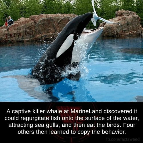 Funny killer whales memes of 2016 on sizzle funny for The fish that ate the whale