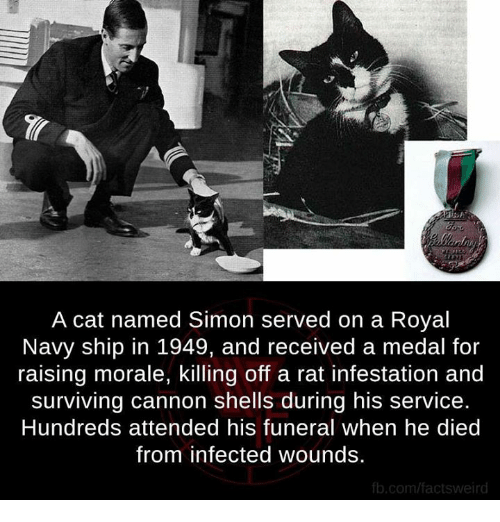 royal navy: A cat named Simon served on a Royal  Navy ship in 1949, and received a medal for  raising morale, killing off a rat infestation and  surviving Cannon shells during his service.  Hundreds attended his funeral when he died  from infected wounds.  fb.com/factsweird