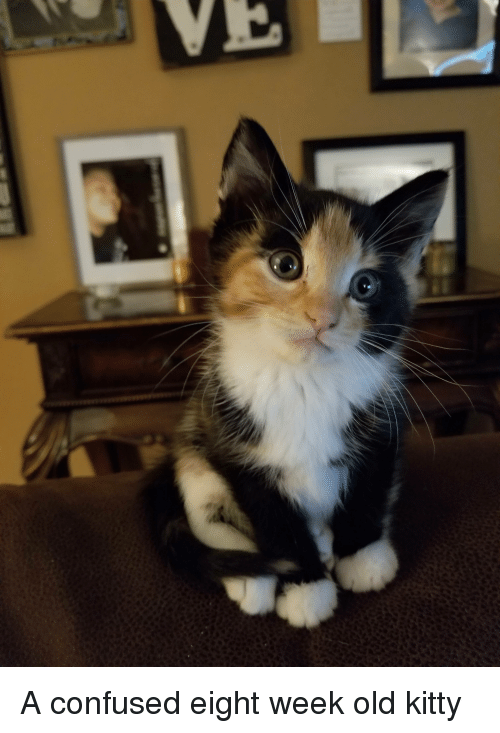 Confused, Old, and Cat: A confused eight week old kitty