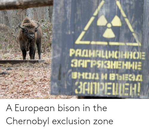 bison: A European bison in the Chernobyl exclusion zone