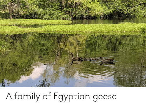 Egyptian: A family of Egyptian geese