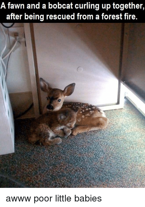 Bobcat: A fawn and a a bobcat up together  curling after being rescued from a forest fire. awww poor little babies