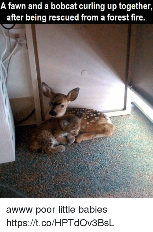 Bobcat: A fawn and a bobcat curling up together  after being rescued from a forest fire. awww poor little babies https://t.co/HPTdOv3BsL