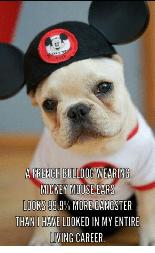 mickey mouse ears: A FRENCH BULLDOG WEARING  MICKEY MOUSE EARS  LOOKS  99.9% MORE GANGSTER  THAN HAVE LOOKED IN MYENTIRE  LIVING CAREER