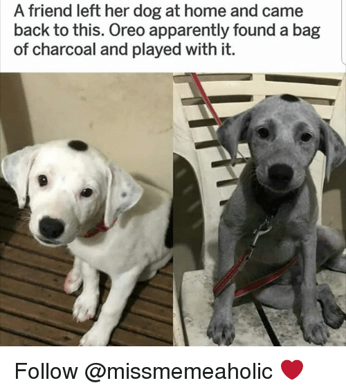 Apparently, Memes, and Home: A friend left her dog at home and came  back to this. Oreo apparently found a bag  of charcoal and played with it. Follow @missmemeaholic ❤