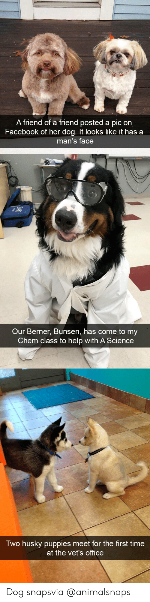 Berner: A friend of a friend posted a pic on  Facebook of her dog. It looks like it has a  man's face   Our Berner, Bunsen, has come to my  Chem class to help with A Science   Two husky puppies meet for the first time  at the vet's office Dog snapsvia @animalsnaps