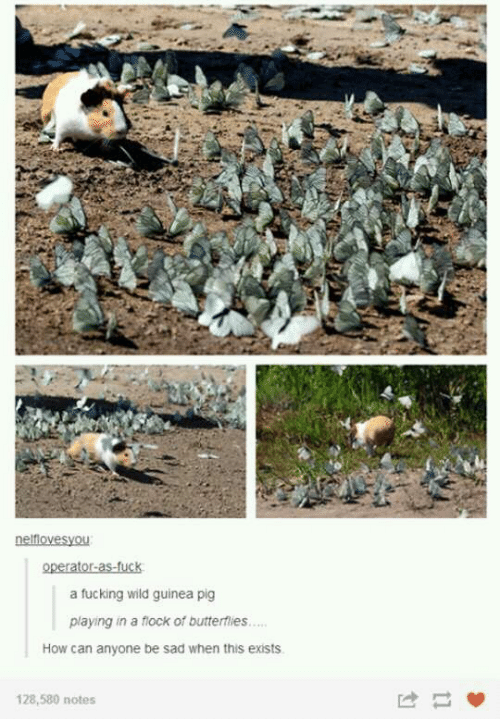 guinea: a fucking wild guinea pig  playing in a flock of butterflies...  How can anyone be sad when this exists  128,580 notes