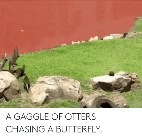 Otters: A GAGGLE OF OTTERS CHASING A BUTTERFLY.