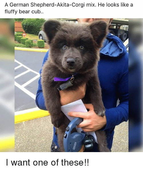 Dog Mix That Looks Like Bear Cub
