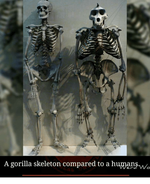 A Gorilla Skeleton Compared to a Human$w | Meme on SIZZLE