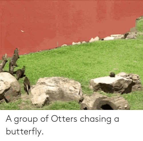 Otters: A group of Otters chasing a butterfly.