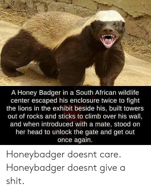 Exhibit: A Honey Badger in a South African wildlife  center escaped his enclosure twice to fight  the lions in the exhibit beside his, built towers  out of rocks and sticks to climb over his wall,  and when introduced with a mate, stood on  her head to unlock the gate and get out  once again. Honeybadger doesnt care. Honeybadger doesnt give a shit.