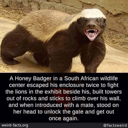 Exhibit: A Honey Badger in a South African wildlife  center escaped his enclosure twice to fight  the lions in the exhibit beside his, built towers  out of rocks and sticks to climb over his wall,  and when introduced with a mate, stood on  her head to unlock the gate and get out  once again.  weird-facts.org  @factsweird