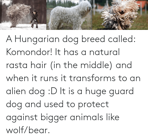 rasta: A Hungarian dog breed called: Komondor! It has a natural rasta hair (in the middle) and when it runs it transforms to an alien dog :D It is a huge guard dog and used to protect against bigger animals like wolf/bear.