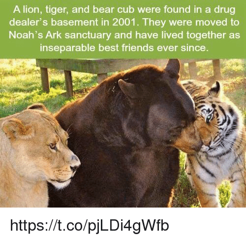 Found In Basement: A Lion Tiger And Bear Cub Were Found In A Drug Dealer's