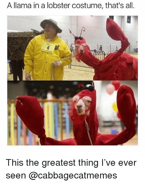 Funny, Meme, and Lobster: A llama in a lobster costume, that's all. This the greatest thing I've ever seen @cabbagecatmemes