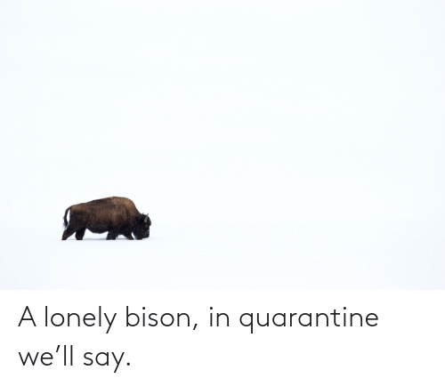bison: A lonely bison, in quarantine we'll say.
