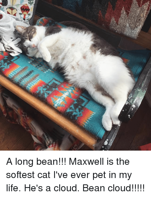 Life, Memes, and Cloud: A long bean!!! Maxwell is the softest cat I've ever pet in my life. He's a cloud. Bean cloud!!!!!