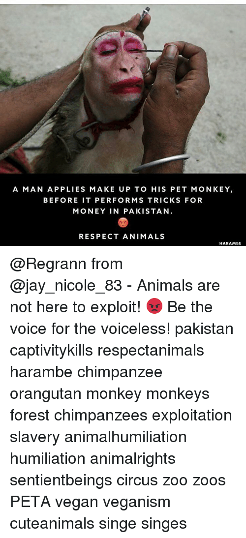 Anime Harambe: A MAN APP LIES MAKE UP TO HIS PET MONKEY  BEFORE IT PER FORMS TRICKS FOR  MONEY IN PAKISTAN  RESPECT ANIMALS  HARAMBE @Regrann from @jay_nicole_83 - Animals are not here to exploit! 😡 Be the voice for the voiceless! pakistan captivitykills respectanimals harambe chimpanzee orangutan monkey monkeys forest chimpanzees exploitation slavery animalhumiliation humiliation animalrights sentientbeings circus zoo zoos PETA vegan veganism cuteanimals singe singes